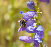 Bee gathering His Wares. Honey Bee in the mountains gathering pollen Royalty Free Stock Image