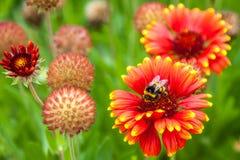 Bee gathering honey. Flowers on Hamilton gardens, New Zealand stock images