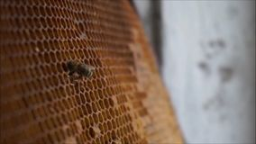 Bee gathering honey stock footage