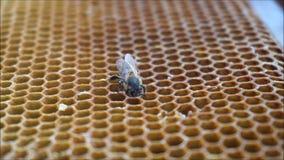 Bee gathering honey stock video