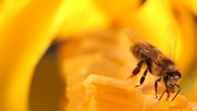 Bee gathering honey and nectar stock video footage