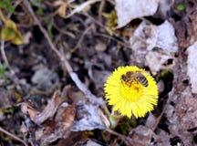 Bee gathering honey Stock Photos