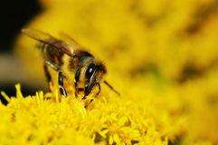Bee gathering honey on yellow flowers Royalty Free Stock Image