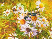Bee gathering nectar from aster tataricus flowers stock photo