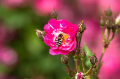 A bee gathering nectar from a flower. With an artsy blurry background Royalty Free Stock Image