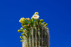 A bee gathering nectar from flowers on the giant Saguaro cactus. Royalty Free Stock Photography