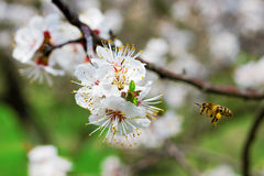 Bee gathering nectar in a garden. Bee gathering nectar in a spring garden Royalty Free Stock Image