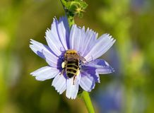 Bee gathering nectar in the heart of a flower Royalty Free Stock Photos