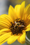 Bee gathering nectar from a sunflower Stock Image