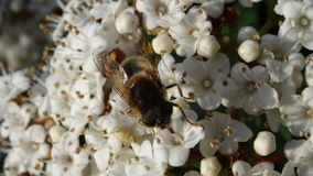 Bee gathering nectar on white flower. Bee gathering pollen and nectar on white flowers stock image