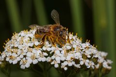 Bee is gathering nectar from a yarrow flowers. Animals in wildlife. stock images