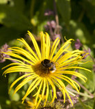 Bee. Gathering nectar on a yellow flower stock images
