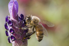 Bee gathering pollen. Honey bee gathering pollen from lavender plant stock photo