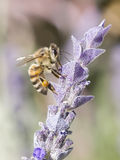 Bee gathering pollen. Profile of Honey bee gathering pollen from lavender plant royalty free stock photo