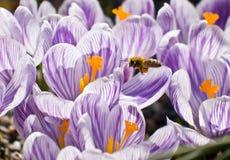 Bee gathering Pollen Stock Photo