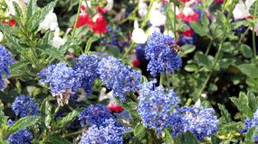 Bee gathering pollen from blue flowers royalty free stock image
