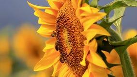 Bee gathering pollen stock video footage