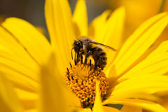 Bee gathering pollen Royalty Free Stock Photography
