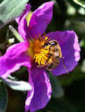Bee. Gathering pollen in a flower Royalty Free Stock Photo