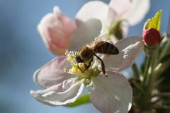Bee gathering pollen from flowers of apple trees Royalty Free Stock Photo