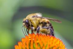 Bee Stock Photography