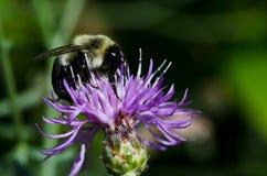 Bee Gathering Pollen Stock Images