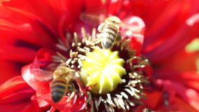 Bee Gathering Pollen On A Red Poppy stock footage