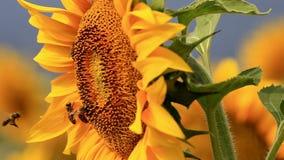 Bee gathering pollen stock footage