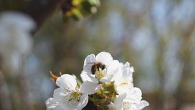 Bee Gathering Pollen from Sour Cherry Blossoms stock video