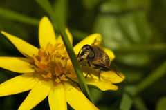 A bee gathering pollen on top of a yellow flower Royalty Free Stock Image