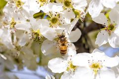 Bee gathering pollen from a white cherry blossom. White cherry blossom royalty free stock images