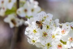 Bee gathering pollen from a white cherry blossom. Bee pollinating a cherry blossom royalty free stock photography