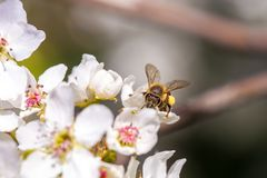 Bee gathering pollen from a white cherry blossom. Bee pollinating a cherry blossom stock image
