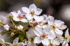 Bee gathering pollen from a white cherry blossom. White cherry blossom royalty free stock image