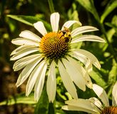 Bee on White Coneflower Royalty Free Stock Photos