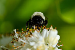 Bee Gathering Pollen from a White Flower. A Close Look at a Bee Gathering Pollen from a White Flower royalty free stock image