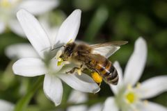 Bee gathering pollen on white flower. Close up of bee gathering pollen on white flower royalty free stock image