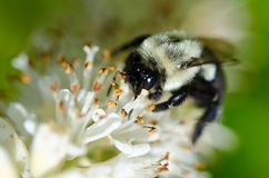 Bee Gathering Pollen from a White Flower. Close Up of a Bee Gathering Pollen from a White Flower stock photos