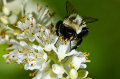Bee Gathering Pollen from a White Flower. Close up of a Bee Gathering Pollen from a White Flower stock photography