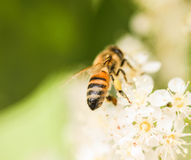 Bee Gathering Pollen from a White Flower Royalty Free Stock Photos