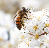 Bee Gathering Pollen from a White Flower Royalty Free Stock Images