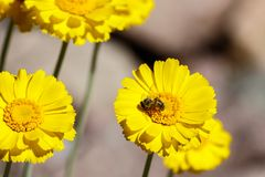 Bee gathering pollen from yellow flower in the desert. Bee gathering pollen from a bright yellow flower Arizona`s Sonoran desert Stock Images