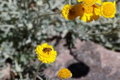 Bee gathering pollen from yellow flower in the desert. Bee gathering pollen from a bright yellow flower Arizona`s Sonoran desert Stock Image