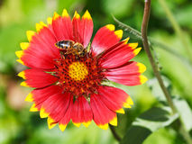 Bee gathers blossom pollen from gaillardia flower Royalty Free Stock Photos