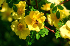 A bee gathers nectar from yellow flowers. The summer blooming beautiful flowers. Macro image of a bee on a flower. A bee gathers nectar from yellow flowers. The royalty free stock photo