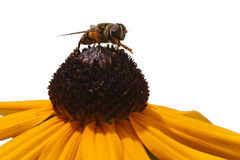 Bee Gathers Pollen. Bee on Blackeyed Susan gathering pollen Royalty Free Stock Images