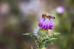 Bee gathers pollen from burdock flower. Summer sunny day_ Stock Photos