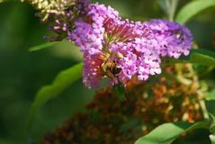 A bee gathers pollen from a flower. In a garden Stock Images
