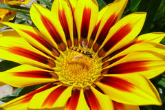 Bee on Gazania flower. A bee sitting on a blossoming Gazania flower Stock Photo