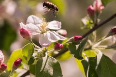 Bee on a gentle white flowers of apple tree - malus pumila. S Royalty Free Stock Photos